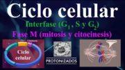 Ciclo celular. Interfase (G1, S y G2) y fase M (mitosis y citocinesis)