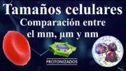 Tamaños celulares. Comparación entre el milímetro, micra (micrómetro) y nanómetro